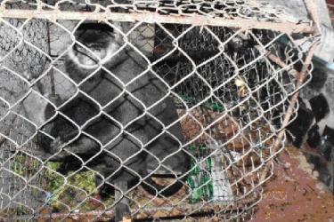 Vườn quốc gia Phong Nha - Kẻ Bàng tiếp nhận Voọc Hà Tĩnh